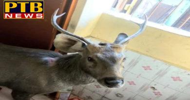 PTB Newsshimla sambar dear entered in the gsss baluganj shimla himachal