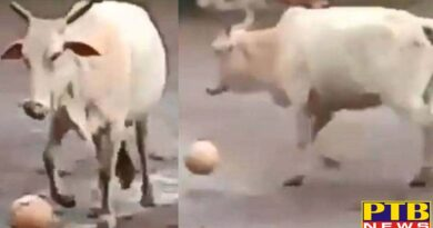 PTB Big Breaking News cow plays football viral video