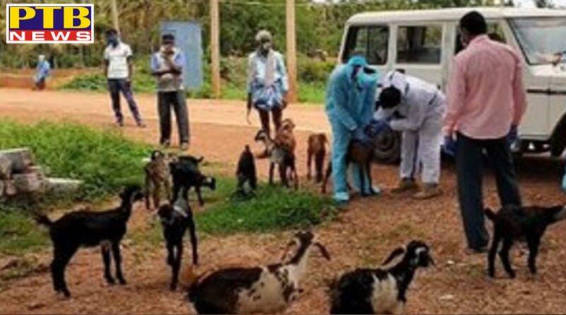 50 goat and sheep quarantined after shepard was found corona positive in karnataka