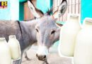 dairy of donkey milk will start for the first time in the country the price of rs 7000 a liter these are the benefits PTB Big Breaking news