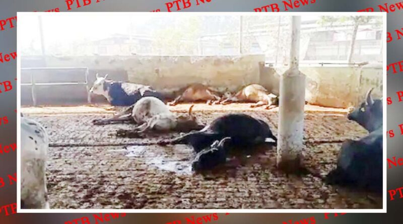 panchkula is a heart wrenching event 80 cows are in a critical condition after consuming poisonous fodder Punjab