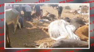 panchkula is a heart wrenching event 80 cows are in a critical condition after consuming poisonous fodder