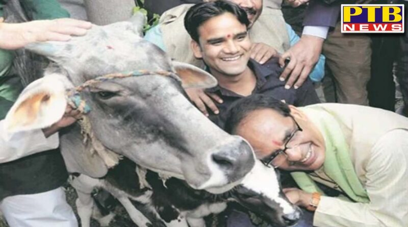 madhya pradesh shivraj govt decides to form cow cabinet for protection of cows in state first meeting will be on 22nd november
